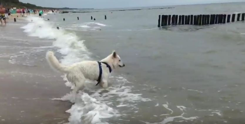 Alto The Dog Fiercely Battles The Waves At The Beach — Too Freaking Funny