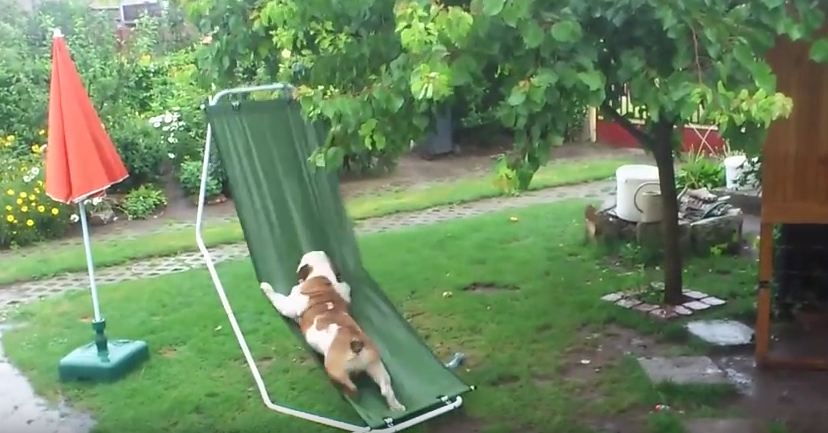 This Bulldog Playing On His Hammock In The Rain Will Make You Incredibly Happy