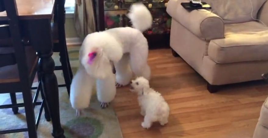 New puppy addition not intimidated by giant poodle