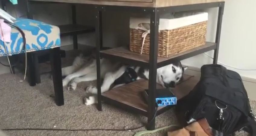 Dreaming Husky talks in his sleep