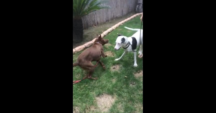 Blind Great Dane puppy learns to socialize