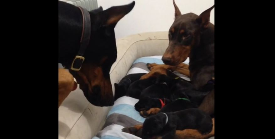 When Daddy Doberman Sees His Litter, He Tries To Step In As Mom