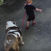 Baby Adorably Attempts To Take A Bulldog On A Walk — But He's Just Not Having It