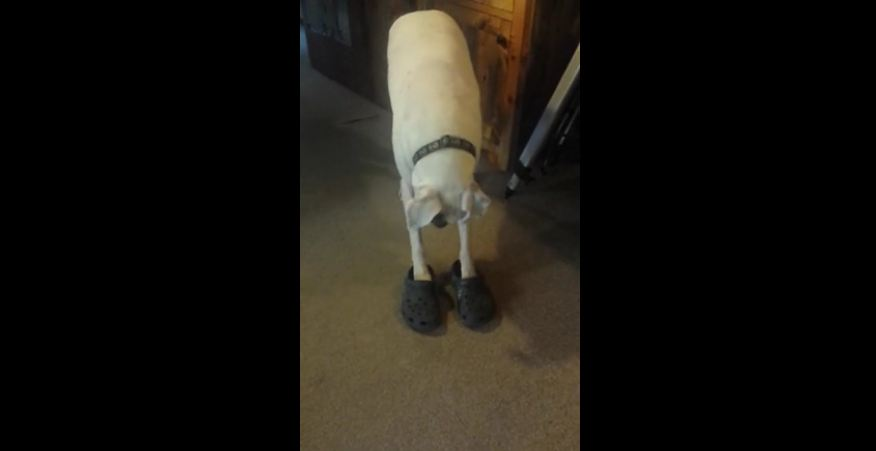 Boxer walks in a pair of Crocs better than humans!
