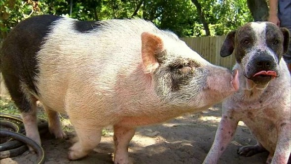 Dog & Pig BFFs Found Wandering Together
