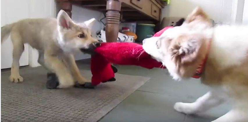 Baby Wolf & Border Collie Play The Cutest Game Tug Of War Ever