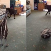 Baby Emu Makes Best Friends With a Dog