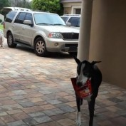 Great Dane helps carry in groceries