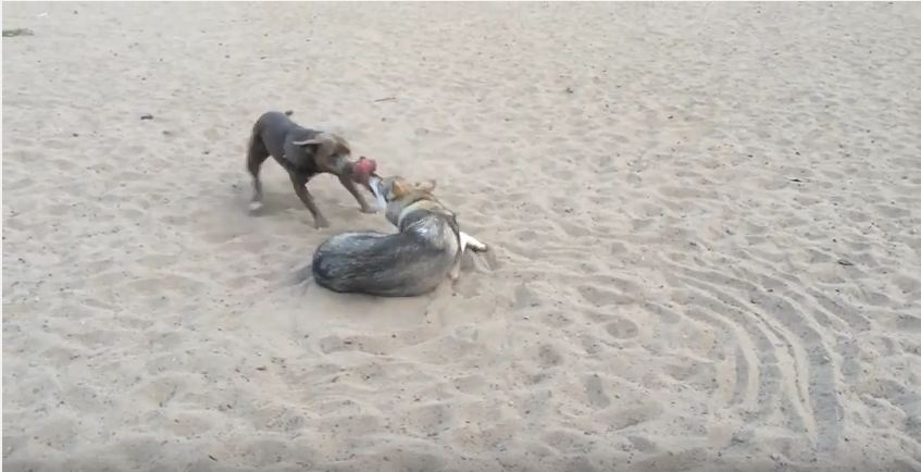 Smart Dog Figures Out The Winning Strategy To A Game Of Tug