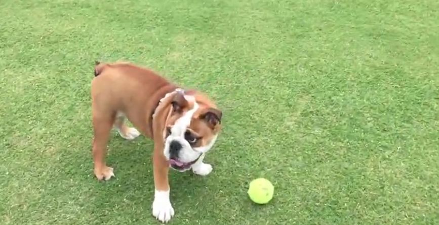 This Little Bulldog Is Struggling To Figure Out The Game Of Fetch…Too Cute!