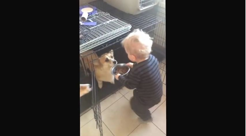 Watching This Little Boy Feed His Four Corgis Is The Cutest Thing You'll See Today