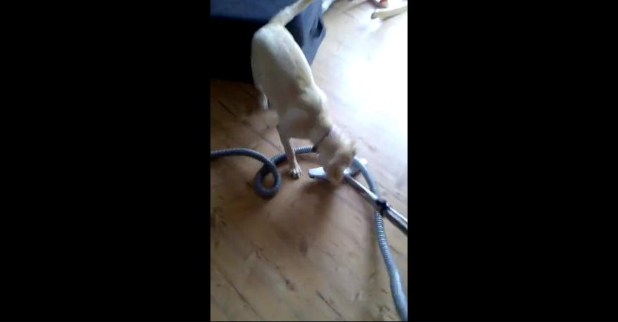 Dog won't let owner use vacuum cleaner