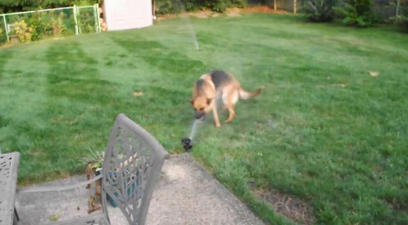 German Shepherd highly entertained by water sprinkler