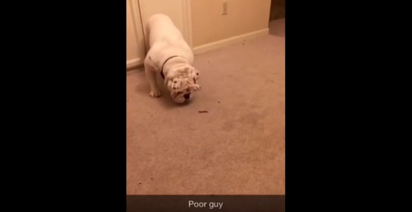 When This Tough Bulldog Encounters A Bug, His Reaction Is Hilarious