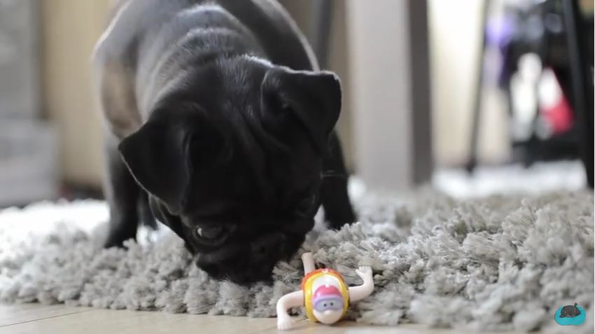 This Cute Pug Just Found A Strange Toy On The Floor, And Her Reaction Is Hilarious