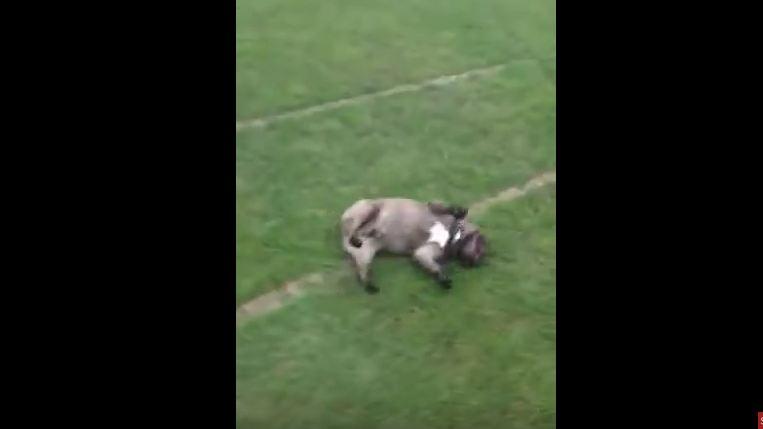 This Dog Has Park Playtime Down In A Way As Unique As He Is