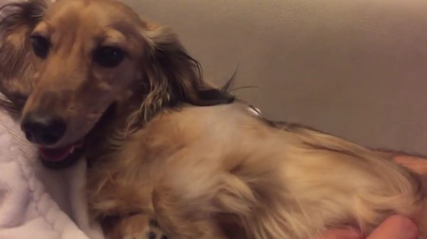 Giggling Dachshund Makes Everyone Laugh