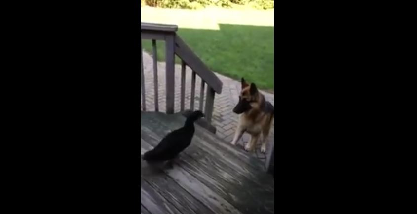 German Shepherd Can't Figure Out Why This Animal Won't Let Him On The Porch