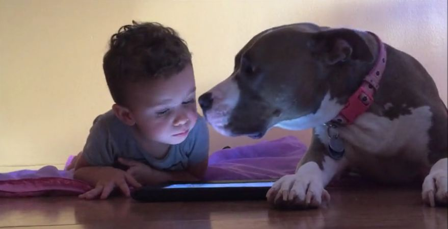 Pittie Figures Out A Great Way To Get His Toddler's Attention