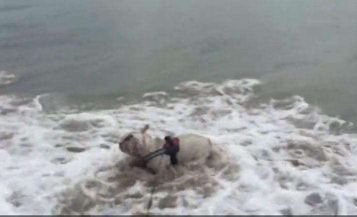 English Bulldog fearlessly attacks ocean waves