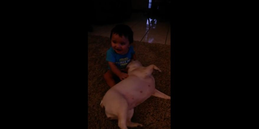 French Bulldog accidentally knocks down baby
