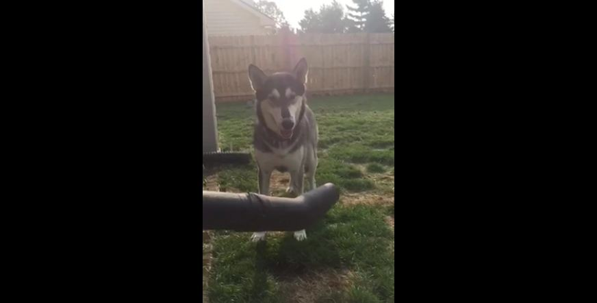 This Dog Is Endlessly, Hilariously Fascinated By A Gardening Tool