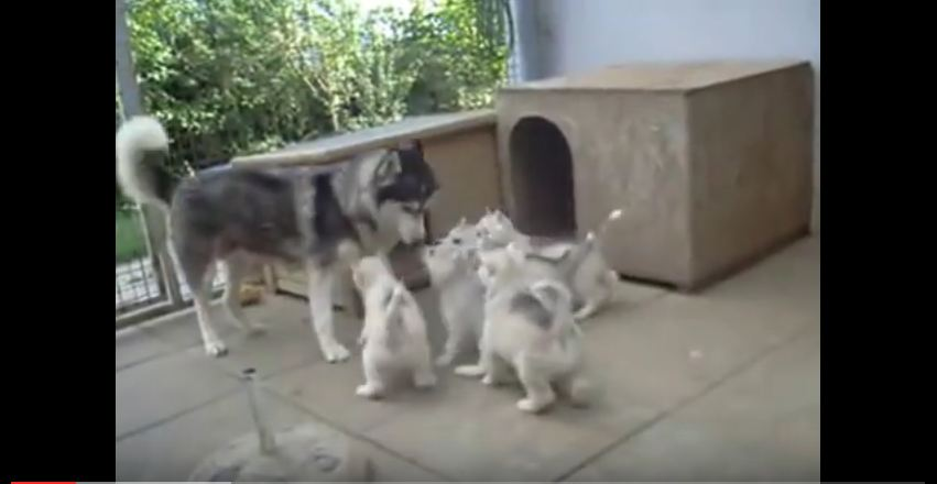 These Tiny Huskies Are Dying To Play With Mom…But She's Just Not That Into It