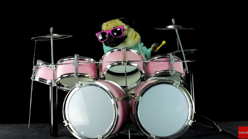 This Drummer Pug Will Be The Best Thing You See Today