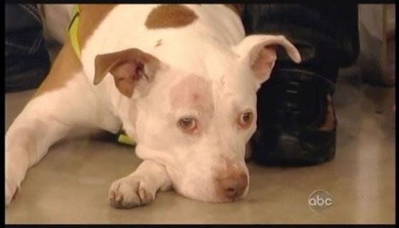Hero Dog Miraculously Survives Fatal Gunshot During Home Invasion
