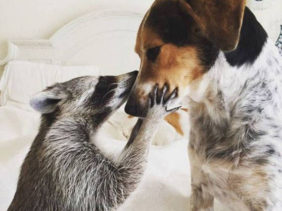 Meet The Baby Raccoon That Was Raised By Dogs
