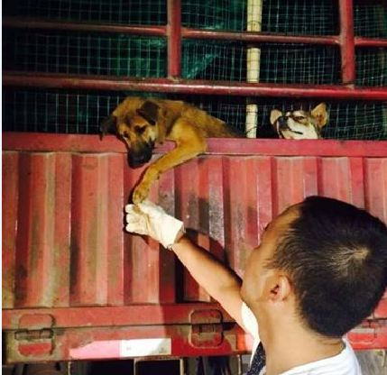 Grateful Dog Rescued From The Meat Trade Reaches Down And Shakes The Hand of His Rescuer