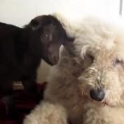 Patient dog entertains baby goat