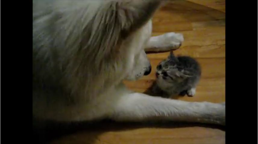When A Wolf Dog Sees A Kitten For The Very First Time, What Happens Is So Sweet