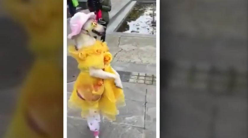 Dog Gets Ready for Halloween