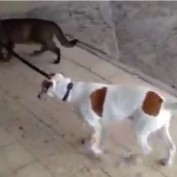 This Pup Has A Very Unusual Dog Walker That You Have To See To Believe