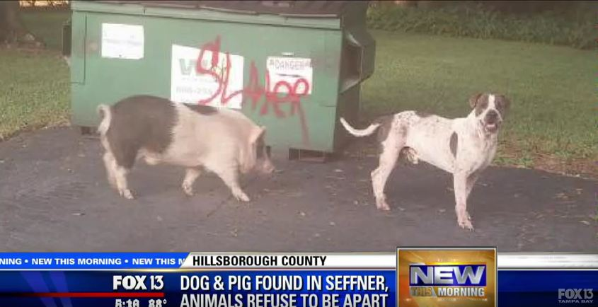 Missing Dog Found Wandering The Streets With Large, Unusual Friend