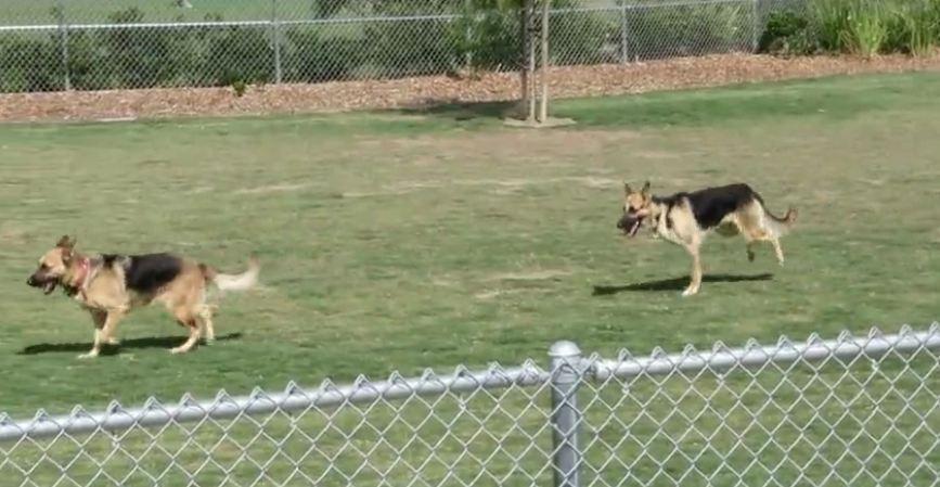 Three-legged German Shepherd loves the dog park
