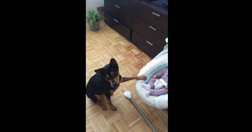 Dog trained to gently rock baby cradle