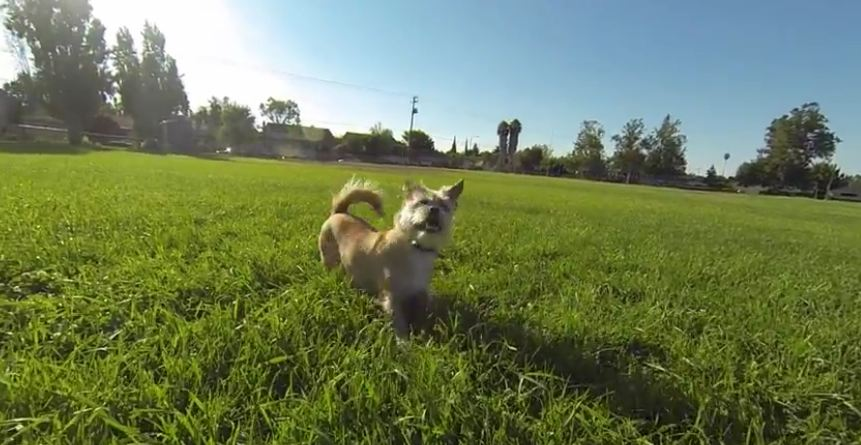 Well trained dog executes the rollover flip