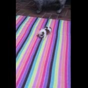 Tiny bulldog puppy learns how to bark