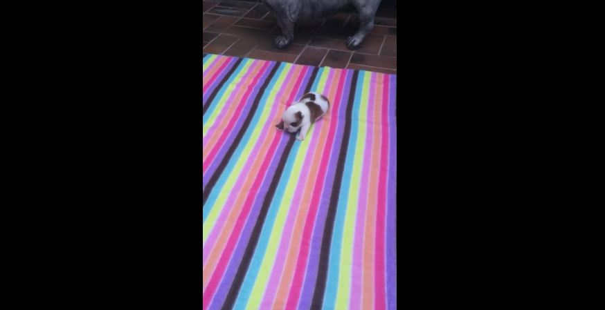 Tiny bulldog puppy learns how to bark