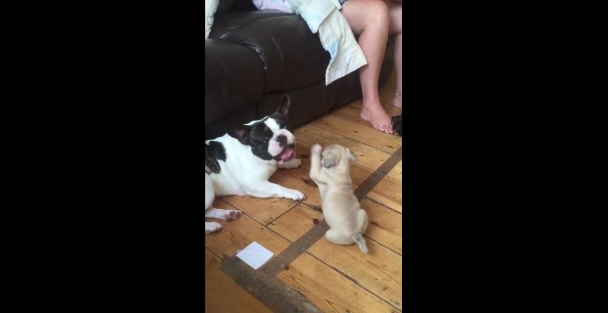 French bulldog plays with puppy