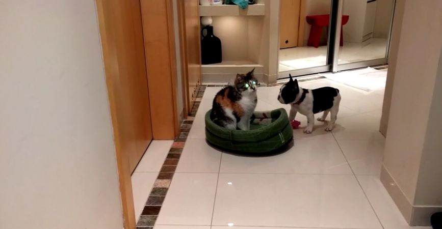 French Bulldog puppy reclaims bed from cat