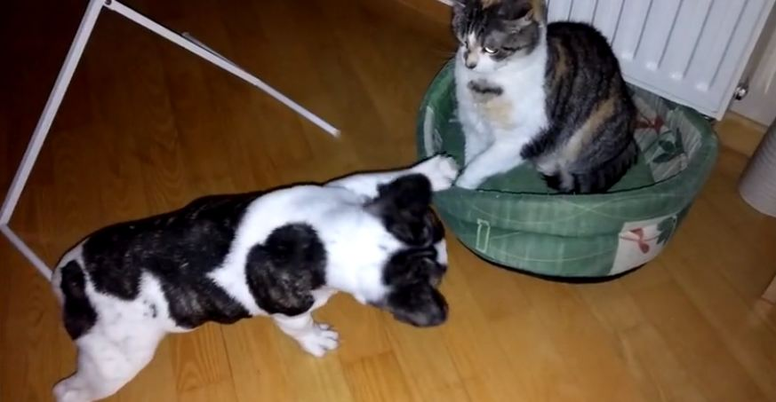 French bulldog battles bully cat for bed: Round 3!