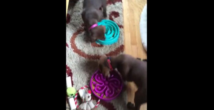 Puppies bump into each other while circling food bowls
