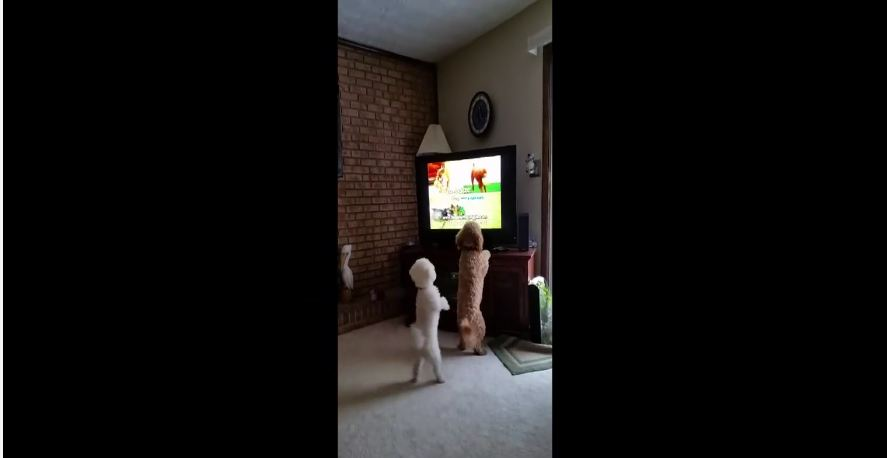 Puppies bark at other dogs on TV