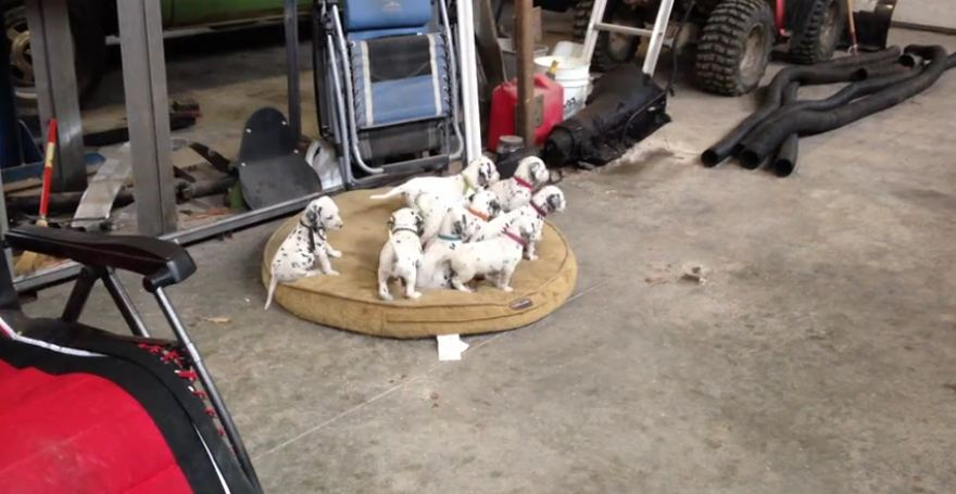 Attentive puppies watch mom and dad play