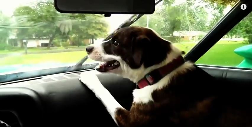 These Hilarious Dogs Know That Windshield Wipers Are Up To No Good