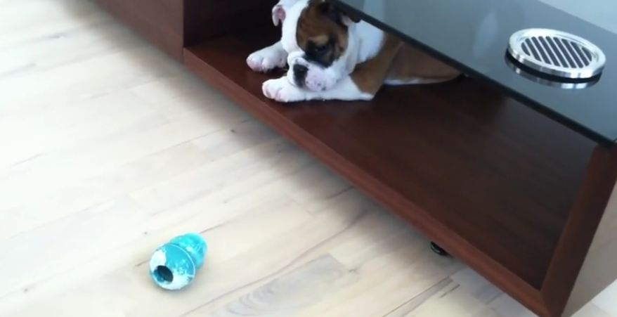 Adorable Bulldog puppy named Walter