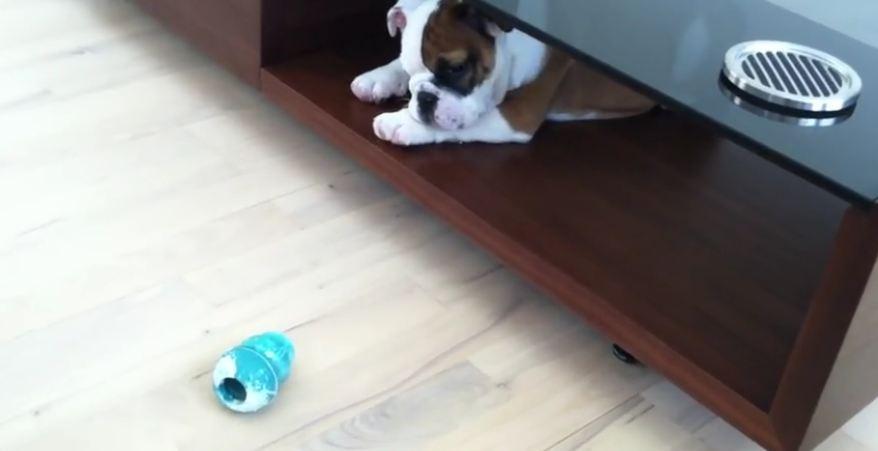 Adorable Bulldog puppy named Walter